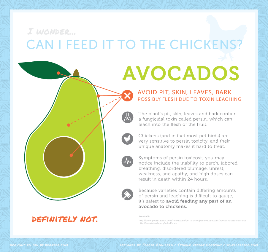 Avocado: Can I feed it to the chickens? Safest bet says no, you really shouldn't.