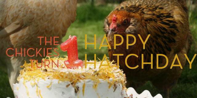 Happy Hatchday! The Chickies Turn 1